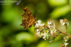 Comma (Polygonia c-album) (gcampbellphoto) Tags: comma butterfly insect macro nature wildlife wexford ireland gcampbellphoto polygonia calbum animal outdoor organic pattern bright photo border flower plant garden leaf