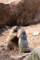 Alpine marmot (Cloudtail the Snow Leopard) Tags: murmeltier alpen nagetier mammal animal tier säugetier mankei murmel marmota alpin marmort zoo tiergarten nürnberg nuremberg