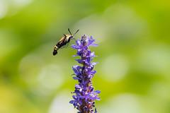 lake katherine. july 2018 (timp37) Tags: palos lake katherine illinois july 2018 hummingbird moth insect summer flower plant