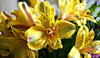 Alstromeria with Droplets