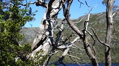 322 Baum am - tree on Lake Dove (roving_spirits) Tags: australia australien australie cradlemountain cradlemountainlakestclairnationalpark tasmania tasmanien tasmanie