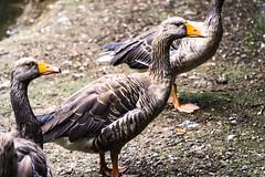 LE OCHE    ----    THE GEESE (Ezio Donati is ) Tags: uccelli birds animali animals parco park acqua water erba grass italia parcodelticino provinciadipavia