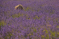 Profumo di Estate / The smell of Summer(Banstead, Surrey, United Kingdom) (AndreaPucci) Tags: banstead lavender surrey london uk andreapucci summer field blue eye