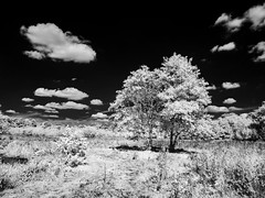 249-2018-365 Two trees (graber.shirley) Tags: riverwey infrared sky bythewey