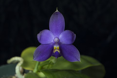 Phalaenopsis violacea variety coerulea 'N0446-G' (ab_orchid) Tags: phalaenopsis violacea orchid species