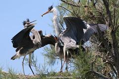 L'heure de la becquée (fauneetnature) Tags: heron héron héroncendré ornithologie ornithology oiseau animalier animal camargue