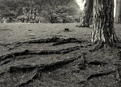 Roots Caesars Well (jhotopf) Tags: acutol analogue film noiretblanc blancoynegro blackandwhite 150mmf56 largeformat 4x5 fp4 mpp wimbledoncommon