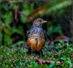 Llueve. (Totugj) Tags: zorzal colorado aves argentinas argentina provincia buenos aires nikon d7500 sigma 150600mm birds uccelli fauna naturaleza