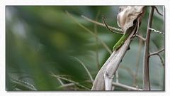 Sortir de sa tanière (Dankerkreol) Tags: 2018 arbre branche faune feuille juillet lézard nature palmiste