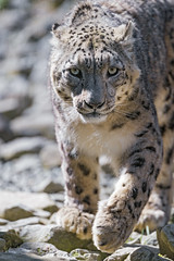 Last photo of Villy... (Tambako the Jaguar) Tags: snowleopard big wild cat fluffy unciy male portrait walking coming sunny stones rocks zürich zoo switzerland nikon d5