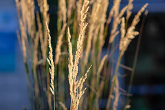 Strandhafer (trsl1234) Tags: grass