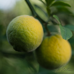 waiting for sun (Majka_) Tags: nature fruit poncirustrifoliata green yellow
