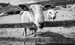 Stainton . (wayman2011) Tags: colinhart fujifilm18mmf2lightroom5 fujifilmxt10 wayman2011 bw mono rural villages sheep fences pennines dales teesdale stainton countydurham uk