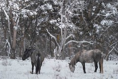 Brumby 44 small (iSPY Photography) Tags: brumbies wild horses australia nsw mountains snowymountains stallion mare filly colt ice gumtrees magestic kosciuskonationalpark