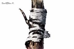 Broken (Geert E) Tags: berk boom stam birch bouleau
