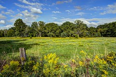 Goldenrod field (a56jewell) Tags: a56jewell goldenrod trees fall sep fence