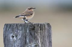 Wheatear-7D2_8913-001 (cherrytree54) Tags: bird wheatear canon sigma 150600 7d 7dmkii