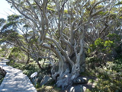 Kosciuszko National Park Jan 2018 (miruspeg1111) Tags: snowgum kosciuszkonationalpark trees gums altitude