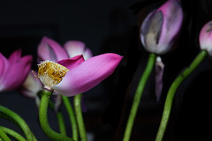"""lotus7 • <a style=""""font-size:0.8em;"""" href=""""http://www.flickr.com/photos/78549112@N08/44687936082/"""" target=""""_blank"""">View on Flickr</a>"""