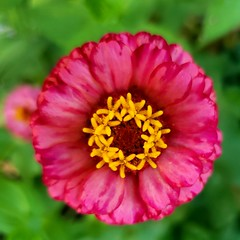 Miss Lacy Zinnia spread her wings and lifted her head high above the garden. She wanted desperately to fly like the butterfly and bee, but alas. That darned stem attached to her body held tight and refused to let her go. Thus, she lived, and bore many chi (lmmauney) Tags: fleuriste floral nature flora naturephotography naturepic fleuris zinnia flower fleur lovenature naturelover naturephoto igrewit plant flor garden