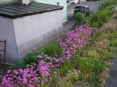 Vivid pink (しまむー) Tags: panasonic lumix dmcgx1 gx1 g 20mm f17 asph trip train yuri highland railway 由利高原鉄道