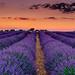 Lavenda fields - Brihuega, Spain