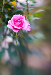 A little rose magic... (judy dean) Tags: 2018 judydean garden lensbaby sweet50 rose blur