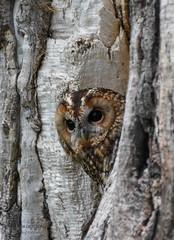 Peekaboo (mikedenton19) Tags: tawny owl strix aluco strixaluco bird birdofprey national centre for birds prey nationalcentreforbirdsofprey helmsley park duncombe duncombepark