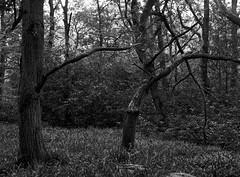 Stanley Burn Woods (Jonathan Carr) Tags: woodland mamiya645e hp5 mediumformat stanleyburnwoods blackandwhite ruralnortheast tree