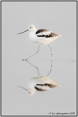 Through A Glass LIghtly (pandatub) Tags: ebparks ebparksok bird birds avocet americanavocet hrs haywardregionalshoreline