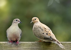 Mourning doves on balcony (Knoten2010) Tags: dove doves bird call bokeh naturalpark nature animal mourningdove perched publicdomain wildlife