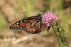 2018 Monarch Butterfly 044 - Danaus Plexippus (Chrisser) Tags: insects insect butterflies butterfly monarch danausplexippus nature ontario canada canoneosrebelt6i canonef75300mmf456iiiusmlens nymphalidae