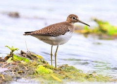 solitary sandpiper at Vernon Springs IA 653A2600 (lreis_naturalist) Tags: solitary sandpiper vernon springs howard county iowa larry reis
