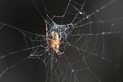 DSC_0881.jpg Orbweaver spider, Schwan Lake (ldjaffe) Tags: schwanlake