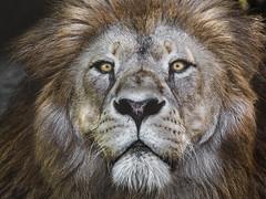 King (Sergio '75) Tags: lion leone pantheraleo animals animal nature natura natur naturaleza naturallight natural naturephotograph naturephotography wildlife wildlifephotography canon canoneos70d sigma150600mmf563dgoshsmc lignano friuli friuliveneziagiulia italy italia matte toning eyes
