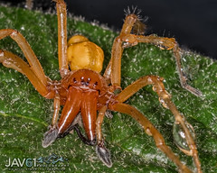 Yellow sac spider female-Cheiracanthium mildei_6556 (George Vittman) Tags: spider nikonpassion hunter nocturnal insect wildlifephotography jav61photography jav61