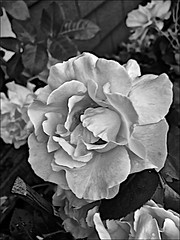 Rose Monochrome (brianarchie65) Tags: roses garden mygarden kingstonuponhull unlimitedphotos ngc yellow pink red leaves petals monochrome blackandwhite blackandwhitephotos blackandwhitephoto blackandwhitephotography blackwhite123 blackwhiterealms flickrunofficial flickr flickruk flickrcentral flickrinternational ukflickr iphonese geotagged brianarchie65