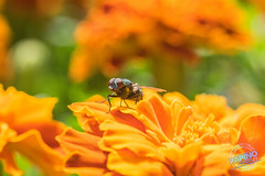 Fly on a flower (Papino Photography) Tags: fly flies flower nature insect red yellow green sit d5300 5300 flash led ring light nikon