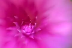 ... true beauty ... (wolli s) Tags: hmm macromondays beautiful beauty blossom makro defining definingbeauty pink macro mondays