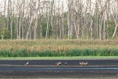 warten auf Wasser (tleesch) Tags: accipitridae accipitriformes aves greifvögel habichtartige haliaeetus haliaeetusalbicilla seeadler vögel bugewitz mecklenburgvorpommern deutschland de