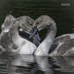 Mute Swan cygnets (David R Hart) Tags: davidhart nikond850 afsnikkor200500mmf56edvr muteswan cygnet smithypool nationaltrust dunhammassey manchester cheshire england wildlife waterfowl nature