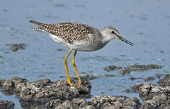 My, what long legs you have... (Snixy_85) Tags: yellowlegs lesseryellowlegs tringaflavipes