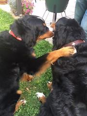 Luna&Gunner (Alpen Schatz - Mary Dawn DeBriae) Tags: happy customer alpenschatz bernesemountaindog dog swissdogcolar hunterswisscrosscollar doggles stein