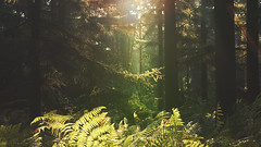 "Entering the forest (""Daniel"") Tags: light sun beam ferns forest wood tree trees bomen bos ede demobos ray morning landscape photography cinematographic"