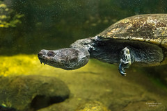 Turtle head sticking out - Berlin Zoological Garden, Germany (Daniel Poon 2012) Tags: musictomyeyes artistoftheyear amazingphoto 123 blinkagain blinkstomyeyes flickr nikonflickraward simplysuperb simplicity storytelling nationalgeographic ngc opticalexcellence beauty beautifullight beautifulcapture level2autofocus landscape waterscape bydanielpoon danielpoonca worldtravel superphotosgroup theamusingphotogroup powerofnikon aplaceforgreatphotographers natureimage focusandclick travelaroundthe world worldmasterpiece waterwatereverywhere worldphotography yourbestphotography mybestphotography worldwidewandering travellersworld orientalland nikond500photography photooftheyear nikonshooters landscapeoftheworld waterscapeoftheworld cityscapeoftheworld groupforallusersofnikon chinesephotographers