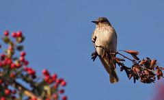flycatcher? (Tim Gardner pics) Tags: