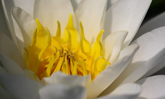 A Festive Glow (AnyMotion) Tags: waterlily europeanwhitewaterlily weiseseerose nymphaeaalba blossom blüte petals center mitte 2018 floral flowers botanischergarten frankfurt plants anymotion colours colors farben white weis yellow gelb 7d2 canoneos7dmarkii summer sommer été verano zomer estate macro makro makroaufnahmen