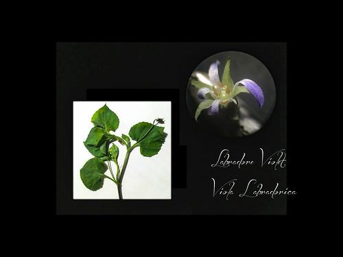 Labrador Violet