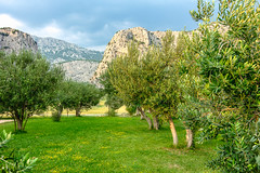 Olive garden (_Sylvian) Tags: omis agriculture croatia fruits garden landscape leaves mountains nature olivegarden oliveoil olivetree olives orchard outdoor plants summer trees view