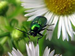 Cryptocephalus_hypochoeridis_2549 (Cassinazza) Tags: cryptocephalushypocoeridis leafbeetle coleoptera chrysomelidae coleotteri cassinazza